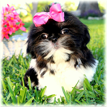 Puppies For Sale In Louisiana | Yorkie, Maltese, Shih-tzu and more