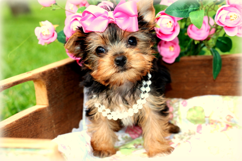 Yorkshire Terrier Puppies For Sale Princess Puppies Princess Puppies