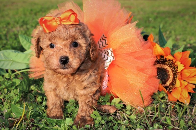 Puppies For Sale Princess Puppies