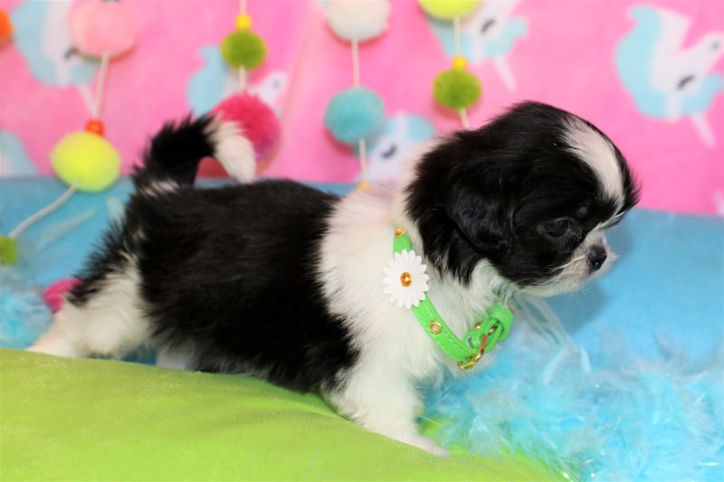 Puppies For Sale In Louisiana | Yorkie, Maltese, Shih-tzu