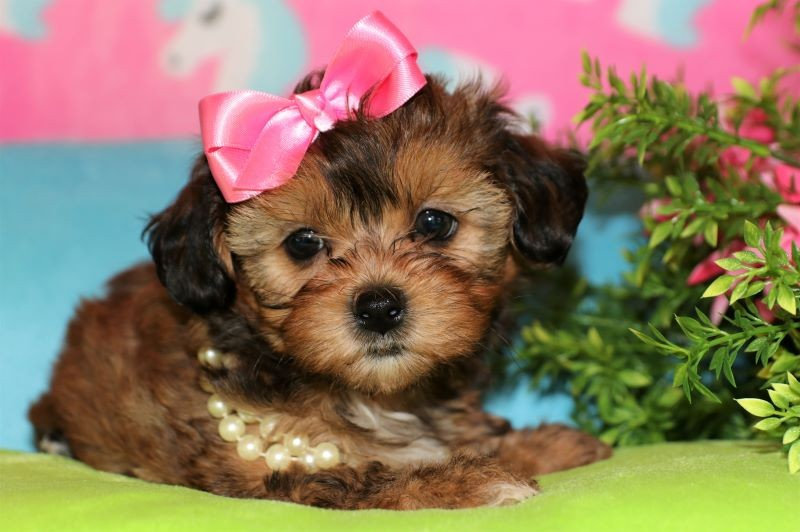 Puppies for Sale - Princess Puppies