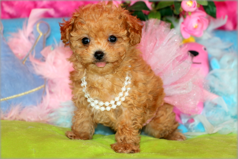Poodle Princess Puppies